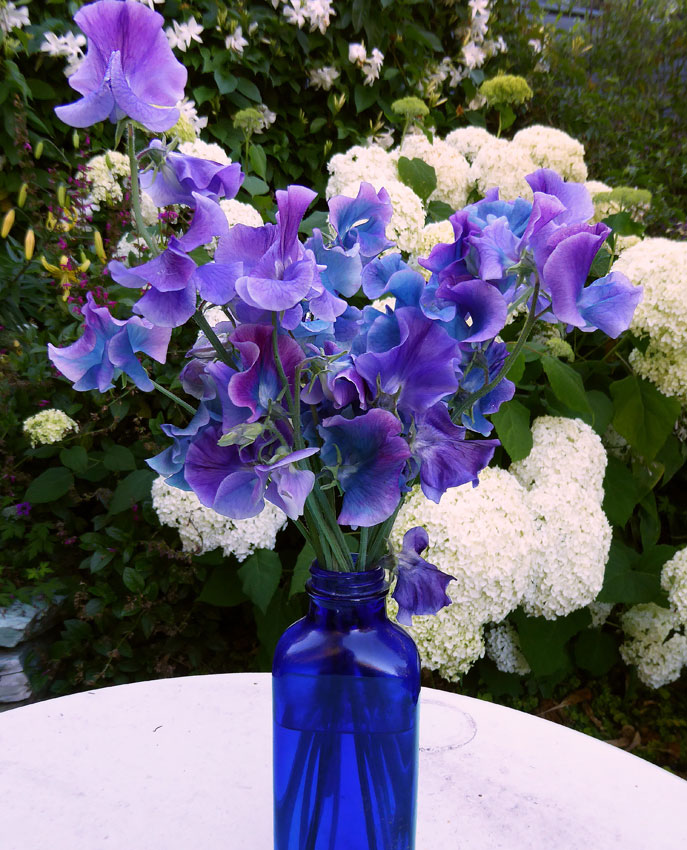 Something Wondrous And New In Sweet Pea Land Color Shifting Blooms Another Keith Hammett Creation Each Flower Begins Life A Rich Violet Purple Then