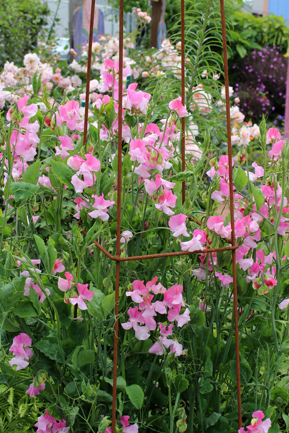 Lathyrus Odoratus Nuance Sweet Pea Buy Online At Annie S Annuals