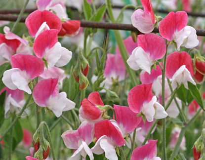 "Lathyrus odoratus 'Painted Lady' ""Sweet Pea"""