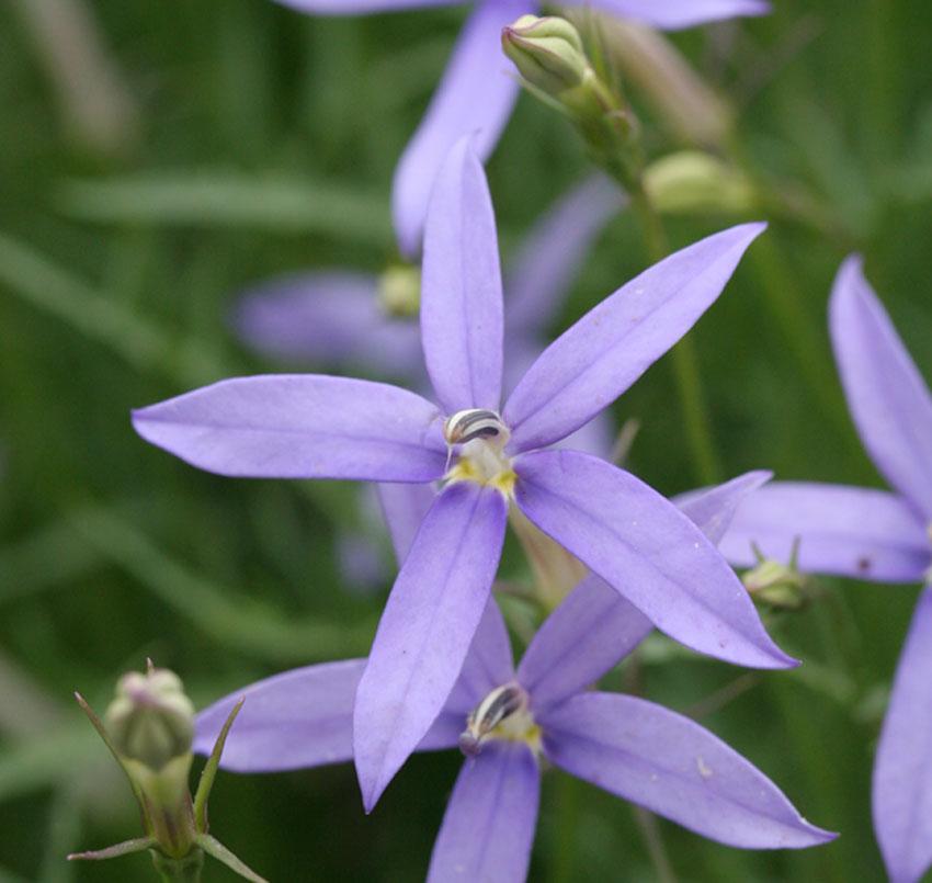 Laurentia axillaris \'Blue Stars\' - Buy Online at Annie\'s Annuals