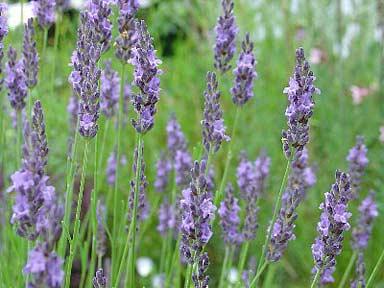 "foto de Lavandula x intermedia 'Grosso' ""Lavender"" Buy Online at"
