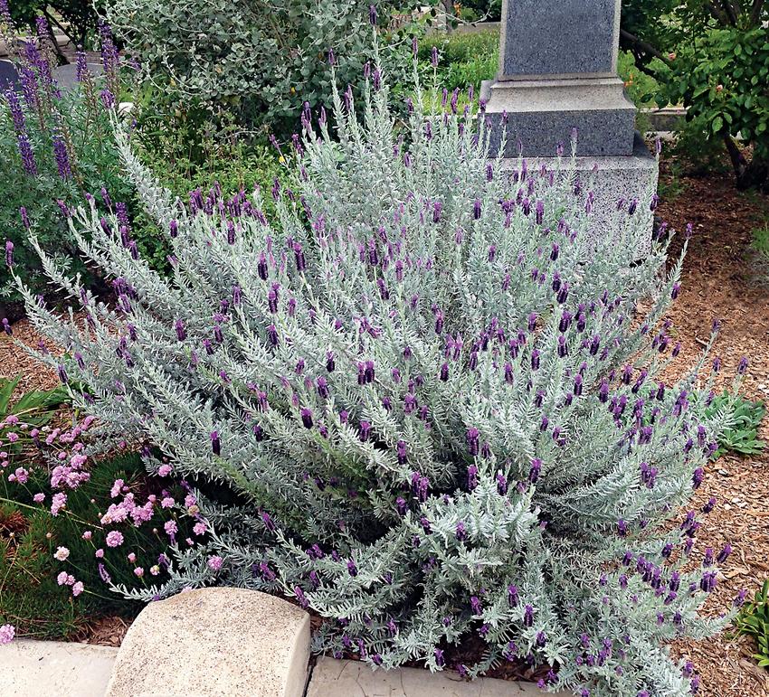 Lavandula Stoechas Silver Anouk Spanish Lavender Buy Online