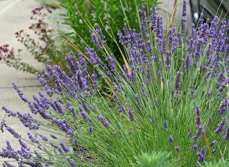 Lavandula X Intermedia Grosso Lavender Buy Online At Annie S