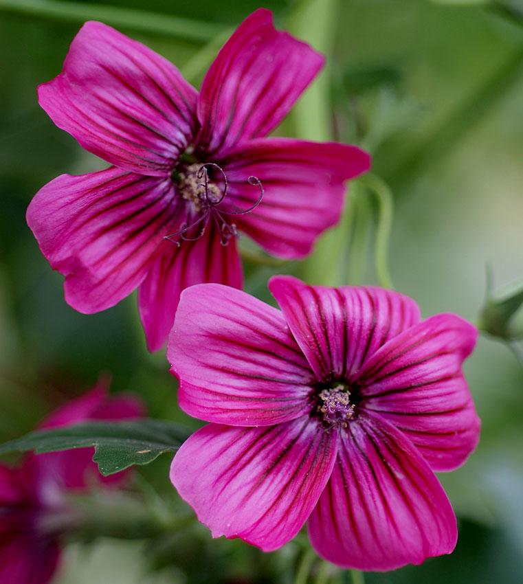 Lavatera assurgentiflora island mallow buy online at annies annuals lavatera assurgentiflora island mallow mightylinksfo