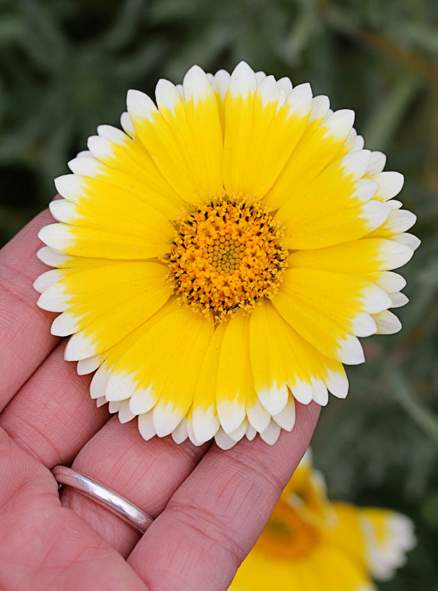 "Layia platyglossa ""Tidy Tips"" - Buy Online at Annie's Annuals"