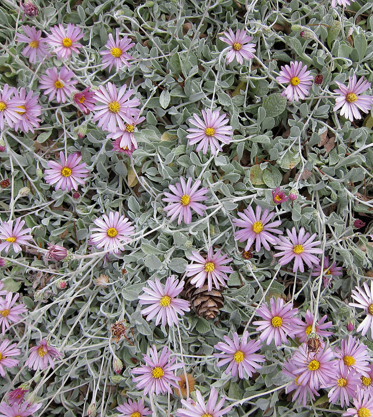 Lessingia Filaginifolia Silver Carpet Buy Online At