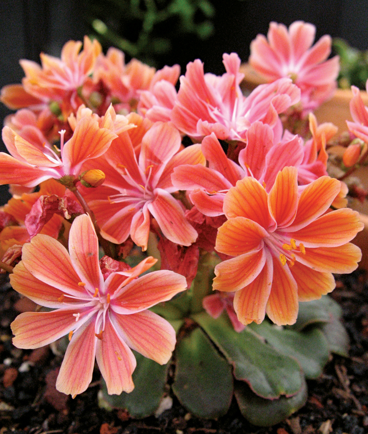 lewisia cotyledon 39 sunset strain 39 buy online at annie 39 s annuals. Black Bedroom Furniture Sets. Home Design Ideas