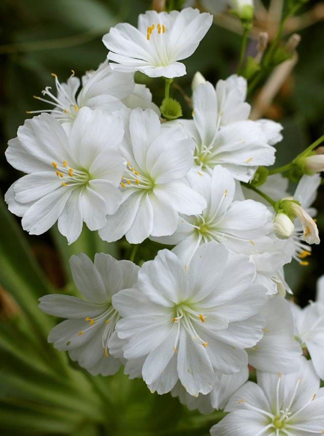 Lewisia cotyledon 'White Splendor' - Buy Online at Annie's ...