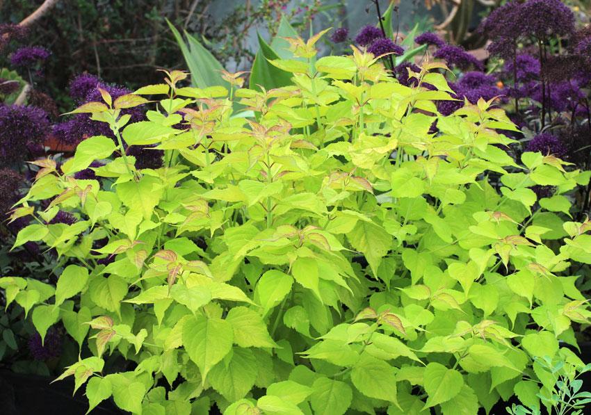 Leycesteria Formosa Gold Leaf Buy Online At Annie S