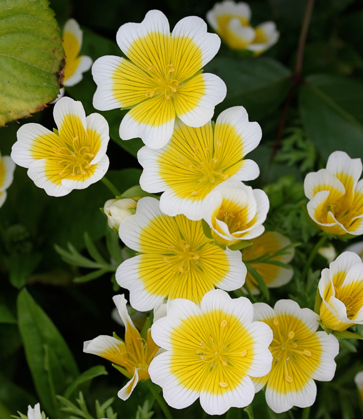 Limnanthes Douglasii Quot Meadow Foam Quot Buy Online At Annie S