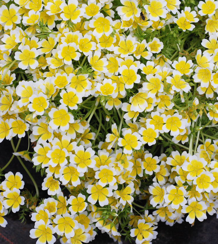 Limnanthes douglasii meadow foam buy online at annies annuals limananthes douglasii meadow foam limananthes douglasii meadow foam mightylinksfo