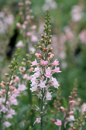 "Linaria purpurea 'Cannon Went' ""Pink Toadflax"""