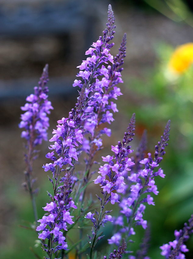 Linaria Purpurea Quot Toadflax Quot Buy Online At Annie S Annuals