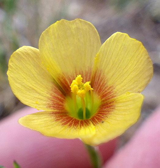 Linum rigidum large flower yellow flax buy online at annies annuals linum rigidumlarge flower yellow flax mightylinksfo