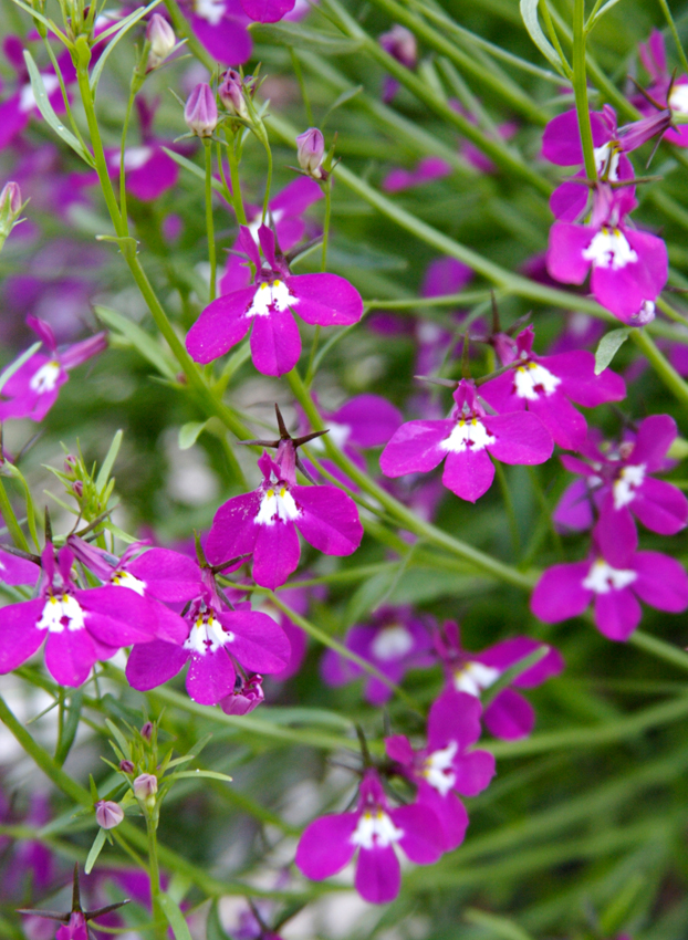 Lobelia Erinus Fountain Rose Buy Online At Annies Annuals