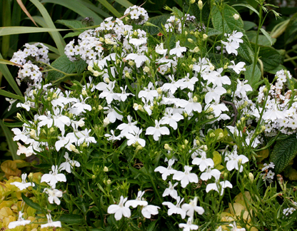 Lobelia Erinus Fountain White Buy Online At Annies Annuals