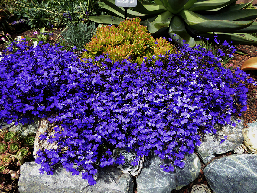 Lobelia Erinus Monsoon Buy Online At Annies Annuals