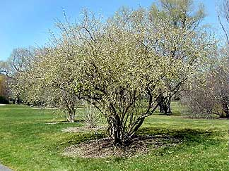 Lonicera Fragrantissima Quot Winter Honeysuckle Quot Buy Online