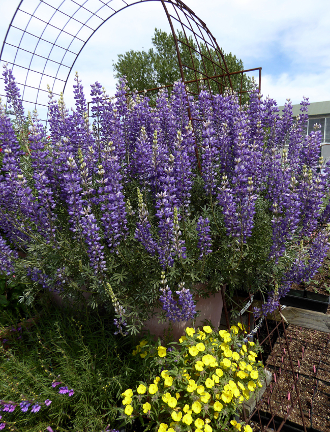 Lupinus Albifrons Quot Silver Bush Lupine Quot Buy Online At