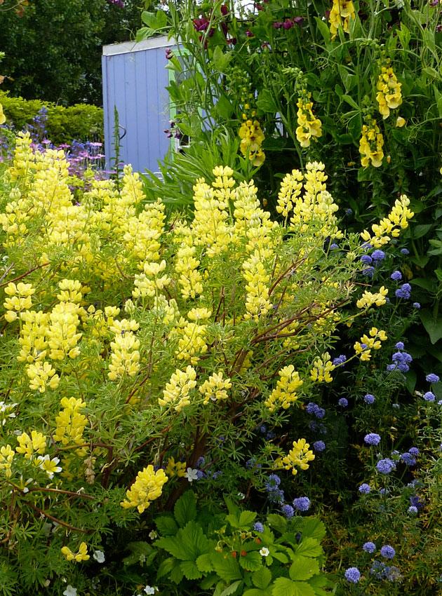 Lupinus arboreus yellow coastal bush lupine buy online at lupinus arboreus yellow coastal bush lupine mightylinksfo