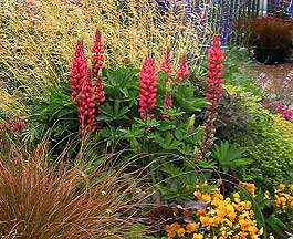 Lupinus regalis 'Morello Cherry�