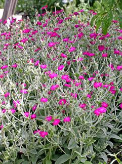 "Lychnis coronaria ""Rose Campion"" - Buy Online at Annie's ..."
