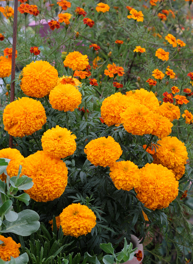 "Marigold 'Day of the Dead Orange' ""Cempazuchitl"" - Buy ..."