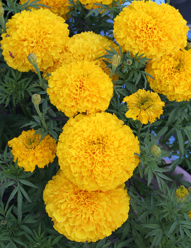 "Marigold 'Day of the Dead Golden Yellow' ""Cempazuchitl ..."