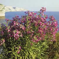 Matthiola Arborescens Aka Matthiola Incana Perennial Form