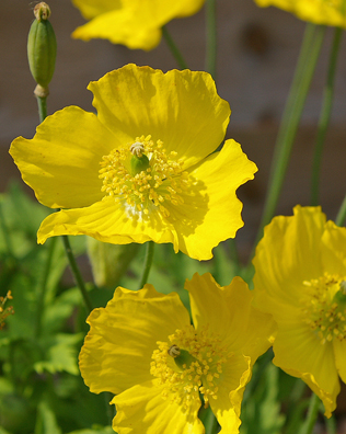Meconopsis cambrica welsh poppy buy online at annies annuals welsh poppy mightylinksfo