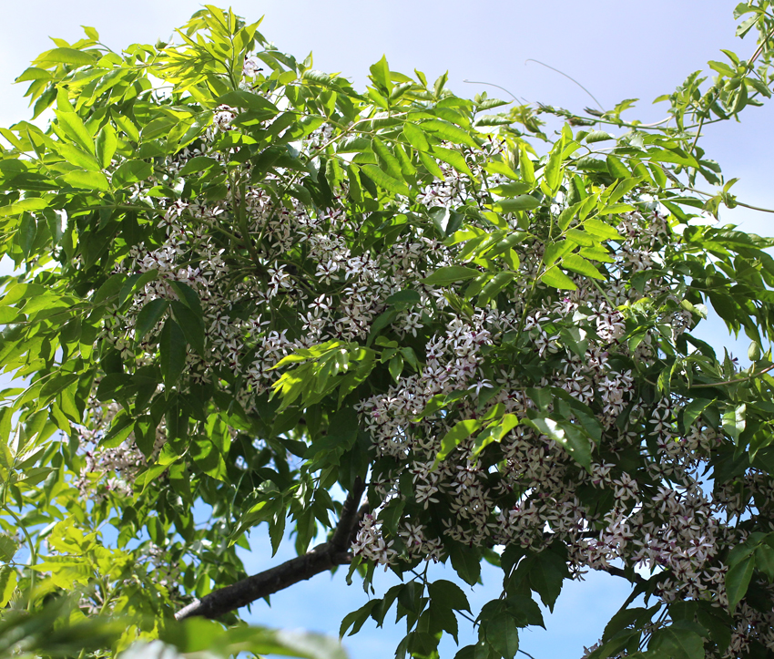 Introduction. Chinaberry is a round, deciduous, shade tree, reaching 30 to 40 feet at maturity and growing 5 to 10 feet during the first and second year after seed germination.