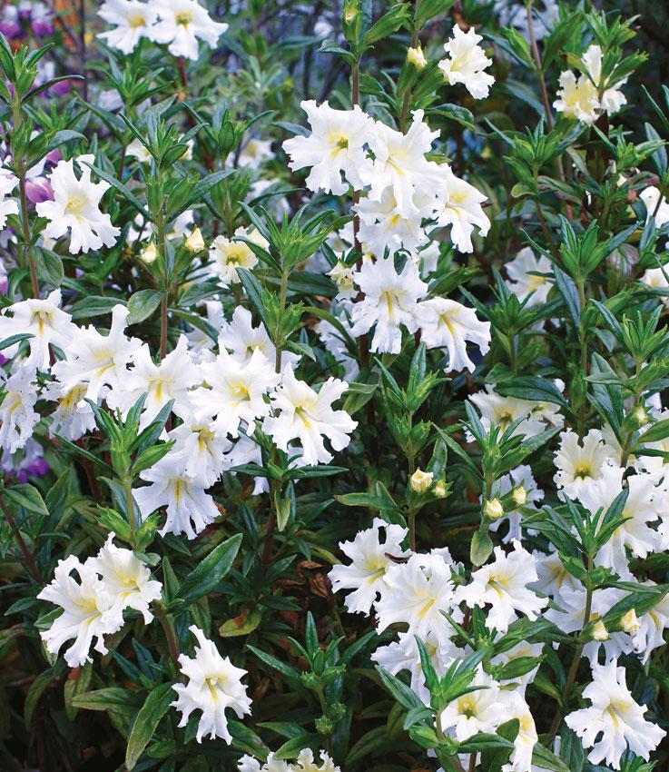 Mimulus bifidus white monkey flower buy online at annies annuals mimulus bifidus white mightylinksfo