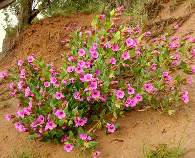 File:Mirabilis multiflora 3.jpg - Wikimedia Commons