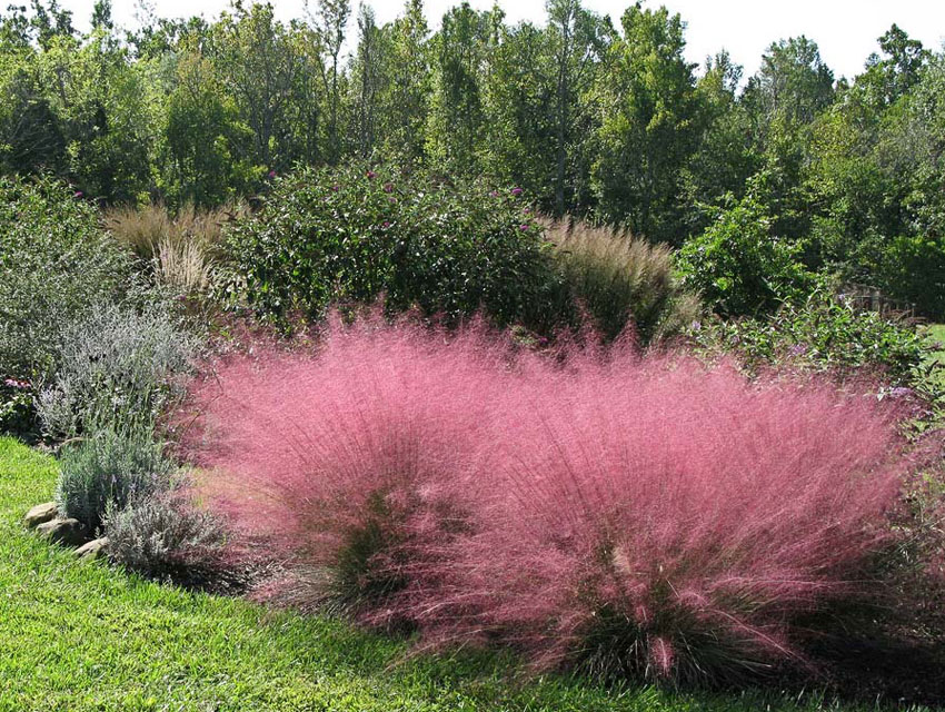 Muhlenbergia Capillaris Quot Pink Muhly Grass Quot Buy Online At