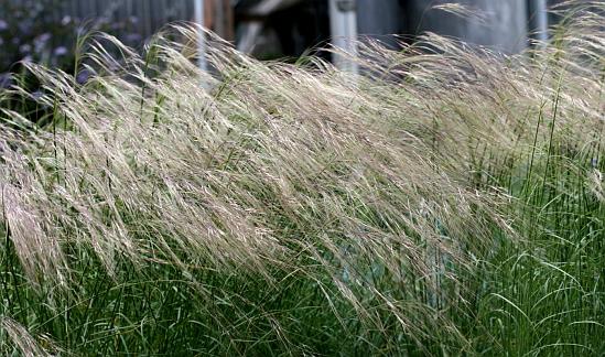 Nassella Cernua Quot Nodding Needle Grass Quot Buy Online At