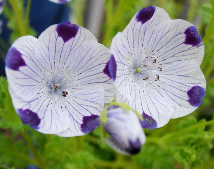 Nemophila Maculata Baby Five Spot Buy Annie