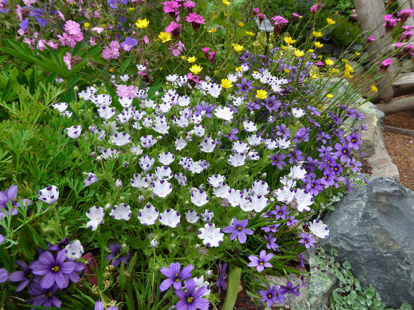 Nemophila maculata baby five spot buy online at annies annuals so pretty combined with eschscholzia rose chiffonand purple chinese houses good under oaks self sows makes really nice pressed flowers too mightylinksfo
