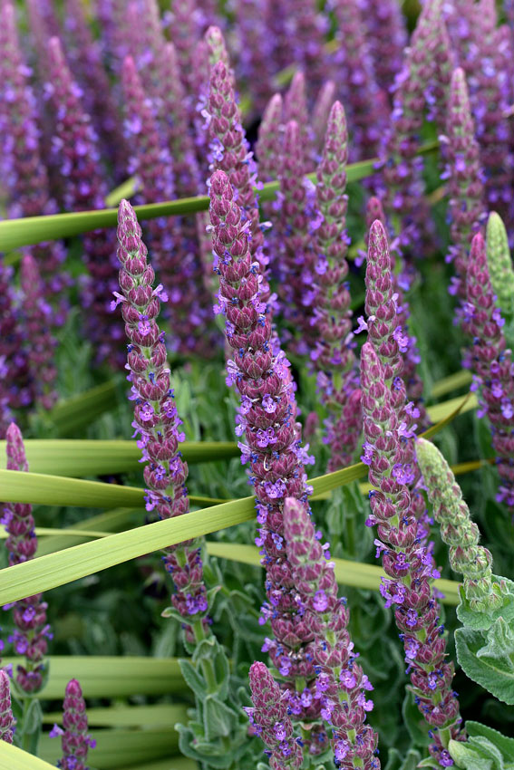 Nepeta tuberosa buy online at annie 39 s annuals for Plant with tall spikes of yellow flowers