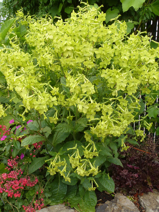 nicotiana alata lime green - Garden Lime