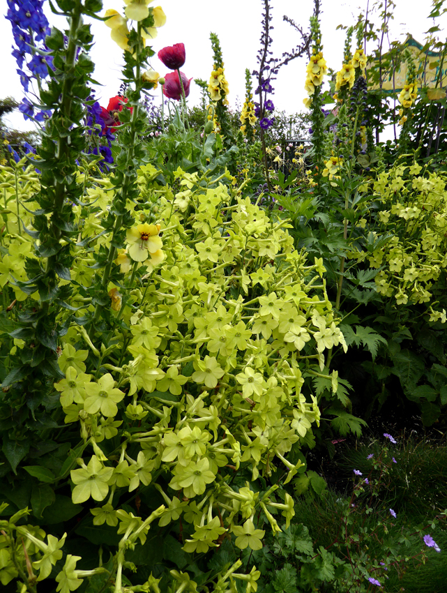 nicotiana alata lime green   buy online at annie s annuals