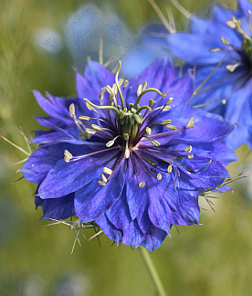 Nigella damascena 'Mrs. Jekyll Dark Blue'