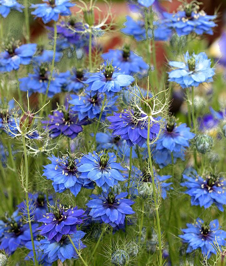 """Nigella damascena 'Miss Jekyll Dark Blue' """"Love-in-a-Mist"""" - Buy Online at  Annie's Annuals"""