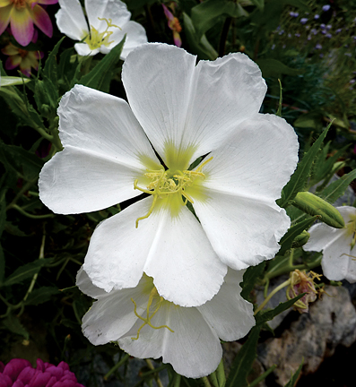 Buy evening primrose
