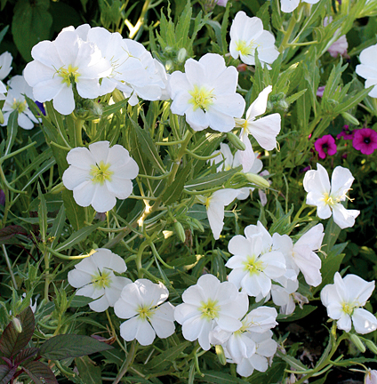 "Oenothera pallida ""White Evening Primrose"""