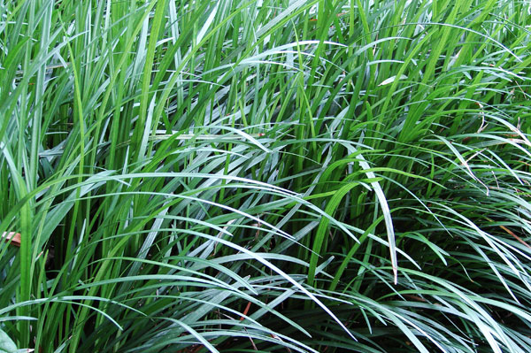 Ophiopogon japonicus mondo grass buy online at annie 39 s for Tall border grass