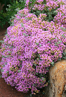 Oscularia Deltoides Buy Online At Annie S Annuals