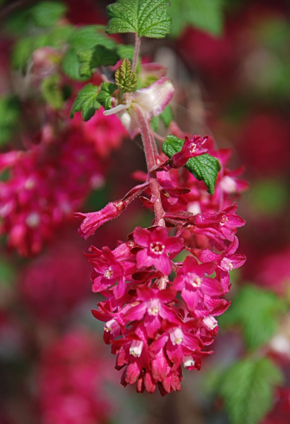 Ribes sanguineum king edward vii pink flowering currant by marble ribes sanguineum king edward vii mightylinksfo