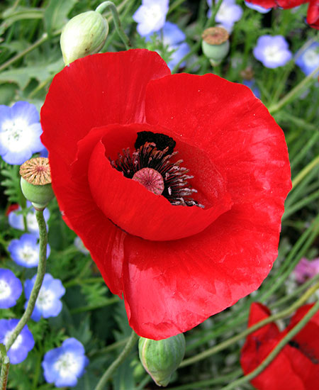 Papaver glaucum tulip poppy buy online at annies annuals the huge single stained glass red flowers of this rare turkish poppy are a delight and so is the rest of the plant a bushy 3 tall and 3 wide thing mightylinksfo