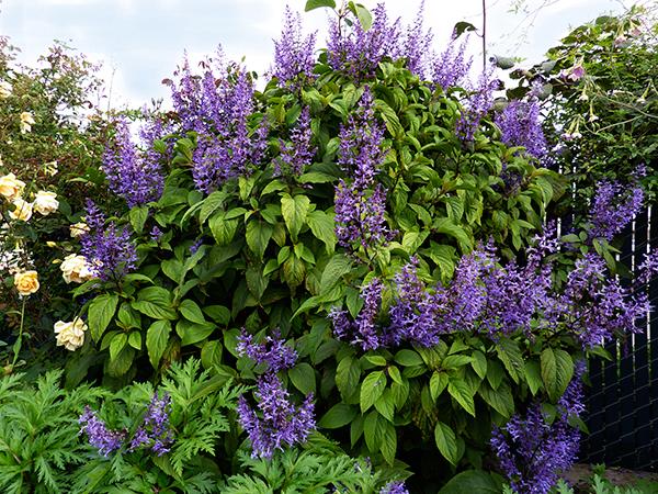 plectranthus ecklonii buy   annies annuals