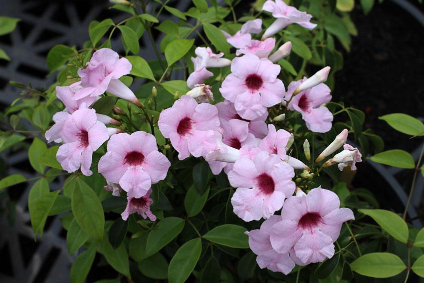 Pandorea Jasminoides Rosea Superba Quot Bower Vine Quot Buy